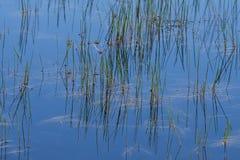 Αφηρημένο υπόβαθρο: Ακόμα αντανακλάσεις λιμνών των καλάμων Στοκ φωτογραφίες με δικαίωμα ελεύθερης χρήσης