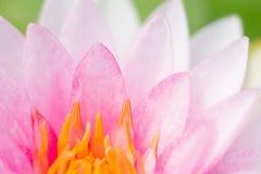 Αφηρημένο υπόβαθρο του ρόδινου νερού lilly Στοκ Εικόνες