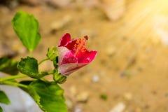 αφηρημένο hibiscus λουλουδιών διάνυσμα απεικόνισης Ρηχό DOF Στοκ Φωτογραφία