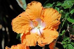 αφηρημένο hibiscus λουλουδιών διάνυσμα απεικόνισης Στοκ φωτογραφία με δικαίωμα ελεύθερης χρήσης
