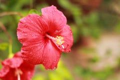 αφηρημένο hibiscus λουλουδιών διάνυσμα απεικόνισης Στοκ Εικόνες