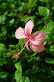 αφηρημένο hibiscus λουλουδιών διάνυσμα απεικόνισης στοκ φωτογραφίες