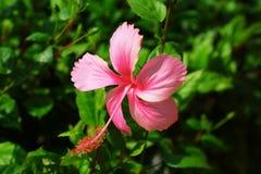 αφηρημένο hibiscus λουλουδιών διάνυσμα απεικόνισης στοκ εικόνα με δικαίωμα ελεύθερης χρήσης