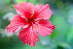 αφηρημένο hibiscus λουλουδιών διάνυσμα απεικόνισης Στοκ Φωτογραφία