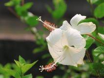 αφηρημένο hibiscus λουλουδιών διάνυσμα απεικόνισης Στοκ φωτογραφίες με δικαίωμα ελεύθερης χρήσης