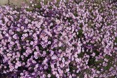 Αφθονία ρόδινων λουλουδιών του dumosum Symphyotrichum στοκ φωτογραφίες