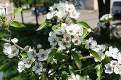 Αφθονία των άσπρων λουλουδιών του δέντρου αχλαδιών Στοκ φωτογραφία με δικαίωμα ελεύθερης χρήσης