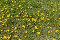 Αφθονία των ανθίζοντας πικραλίδων στη χλόη την άνοιξη Στοκ φωτογραφία με δικαίωμα ελεύθερης χρήσης