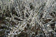 Αφθονία των λουλουδιών του tomentosa Prunus Στοκ Φωτογραφίες