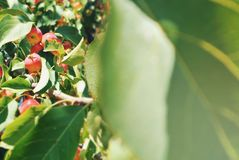 Αφθονία των μικρών διακοσμητικών κόκκινων κίτρινων ώριμων μήλων στον κλάδο Στοκ Εικόνες