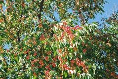 Αφθονία των μικρών διακοσμητικών κόκκινων κίτρινων ώριμων μήλων στον κλάδο Στοκ Φωτογραφία