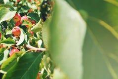 Αφθονία των μικρών διακοσμητικών κόκκινων κίτρινων ώριμων μήλων στον κλάδο Στοκ εικόνες με δικαίωμα ελεύθερης χρήσης