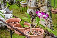 Αφθονία των μικρών λουλουδιών ορχιδεών ανάπτυξης στα δοχεία στον κήπο Στοκ φωτογραφίες με δικαίωμα ελεύθερης χρήσης