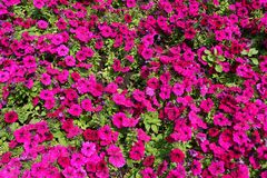 Αφθονία χρωματισμένων των ροδανιλίνη λουλουδιών της πετούνιας στοκ φωτογραφίες