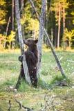 Αφορτε cub που στέκεται επάνω τα οπίσθια πόδια του Στοκ Φωτογραφίες