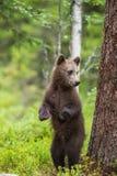 Αφορτε cub που στέκεται επάνω τα οπίσθια πόδια του Στοκ Εικόνες