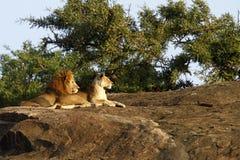 Αφρική ΙΙ υπερηφάνεια Στοκ φωτογραφία με δικαίωμα ελεύθερης χρήσης