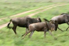Αφρική που τρέχει wilderbeast Στοκ Εικόνες