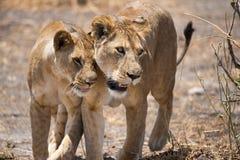 Αφρική Τανζανία Στοκ Εικόνες