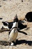 Αφρική Penguin Braying στο έδαφος σημαδιών τείνοντας ένα αυγό στοκ φωτογραφίες
