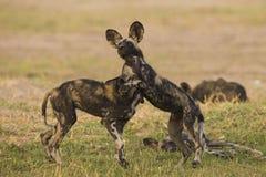 Αφρικανικά άγρια κουτάβια σκυλιών στο παιχνίδι στοκ εικόνα