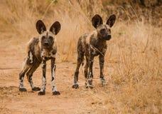 Αφρικανικά άγρια σκυλιά στη σαβάνα μακριά στη Ζιμπάμπουε, Νότια Αφρική στοκ εικόνες