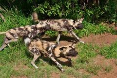Αφρικανικά άγρια σκυλιά Στοκ φωτογραφία με δικαίωμα ελεύθερης χρήσης