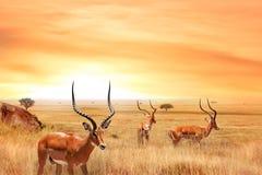 Αφρικανικά άγρια zebras και ο πιό wildebeest στην αφρικανική σαβάνα Άγρια φύση της Τανζανίας στοκ εικόνα με δικαίωμα ελεύθερης χρήσης