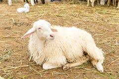 Αφρικανικά άσπρα πρόβατα που βάζουν στο έδαφος και που κοιτάζουν γύρω Στοκ φωτογραφία με δικαίωμα ελεύθερης χρήσης