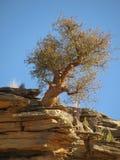 αφρικανικά δέντρα Στοκ Εικόνες