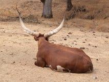 αφρικανικά βοοειδή στοκ εικόνα με δικαίωμα ελεύθερης χρήσης
