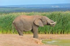 Αφρικανικά ζώα, ελέφαντας waterhole πλησίον Στοκ Φωτογραφίες