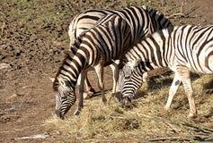 Αφρικανικά ζώα - πλευρά Στοκ Φωτογραφίες