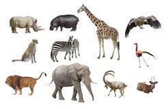 Αφρικανικά ζώα που απομονώνονται σε ένα άσπρο υπόβαθρο Στοκ εικόνα με δικαίωμα ελεύθερης χρήσης