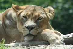 αφρικανικά ζώα Στοκ Φωτογραφίες