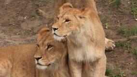 Αφρικανικά λιοντάρια απόθεμα βίντεο