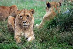 αφρικανικά λιοντάρια Στοκ φωτογραφία με δικαίωμα ελεύθερης χρήσης