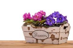 Αφρικανικά ιώδη λουλούδια (saintpolia) στο ξύλινο διακοσμητικό κιβώτιο που απομονώνεται Στοκ Εικόνες