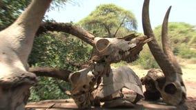 Αφρικανικά κρανία Buffalo και αντιλοπών στην επίδειξη απόθεμα βίντεο