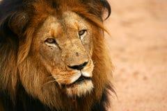 αφρικανικά λιοντάρια Στοκ Εικόνες