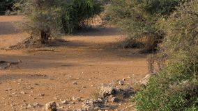 Αφρικανικά με μαύρη ράχη τρεξίματα Jackal κατά μήκος ενός σκονισμένου αμμώδους δρόμου μεταξύ των θάμνων απόθεμα βίντεο