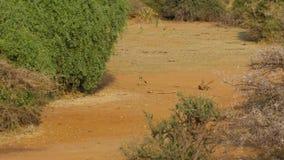 Αφρικανικά με μαύρη ράχη jackal τρεξίματα κατά μήκος ενός αμμώδους εδάφους και κρύψιμο στους θάμνους απόθεμα βίντεο