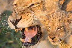 Αφρικανικά μητέρα λιονταριών και Cub (leo Panthera) Νότια Αφρική (Panthera Στοκ Φωτογραφία