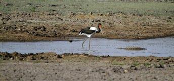 Αφρικανικά πουλιά νερού Στοκ Εικόνες