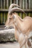 Αφρικανικά πρόβατα Βαρβαρίας στο ζωολογικό κήπο Στοκ Φωτογραφία