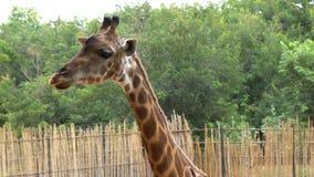 αφρικανικά σαβάνα ή giraffes που τρώει την μπανάνα από τον τουρίστα φιλμ μικρού μήκους