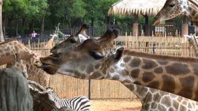 αφρικανικά σαβάνα ή giraffes που τρώει την μπανάνα από τον τουρίστα απόθεμα βίντεο