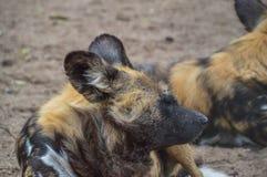 Αφρικανικά σκυλιά κυνηγιού στο ζωολογικό κήπο Άμστερνταμ Artis πυλών οι Κάτω Χώρες Στοκ Φωτογραφίες