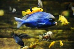 αφρικανικά ψάρια στοκ φωτογραφία