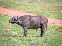 Αφρικανικά Buffalo Στοκ φωτογραφία με δικαίωμα ελεύθερης χρήσης